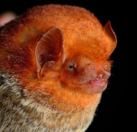Western red bat (Lasiurus blosevellii)