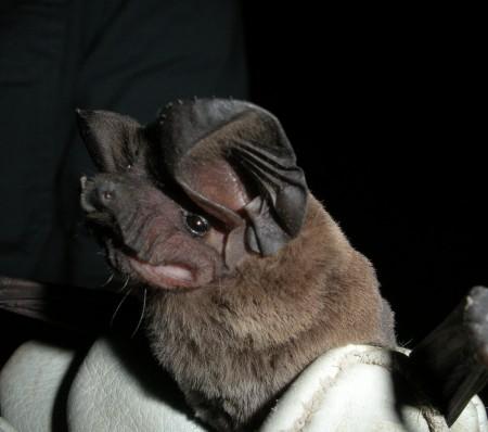 Pocketed free-tailed bat (Nyctinomops femorosaccus)