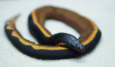 Yellow Bellied Sea Snake