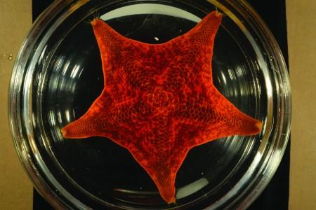 broad-disk star in specimen tray