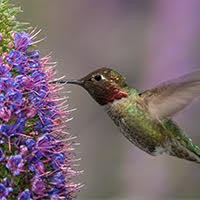 Image of a hummingbird collecting nectar from a flower.
