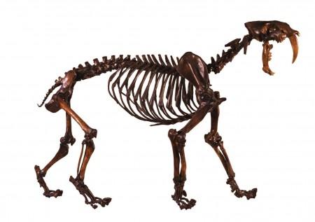Sabertoothed cat skeleton in profile