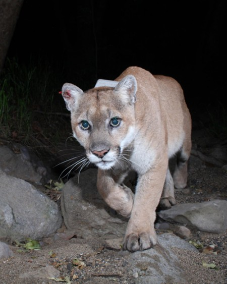 P-22 from camera trap